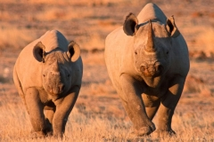 Black-Rhino-in-Etosha-National-Park-in-Namibia-840x473