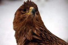 хищные птицы в Холзане