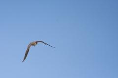 полет хищной птицы