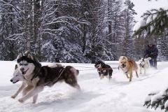 Зюраткуль ездовые собаки